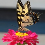 2012 Tiger Swallowtail Newsletter